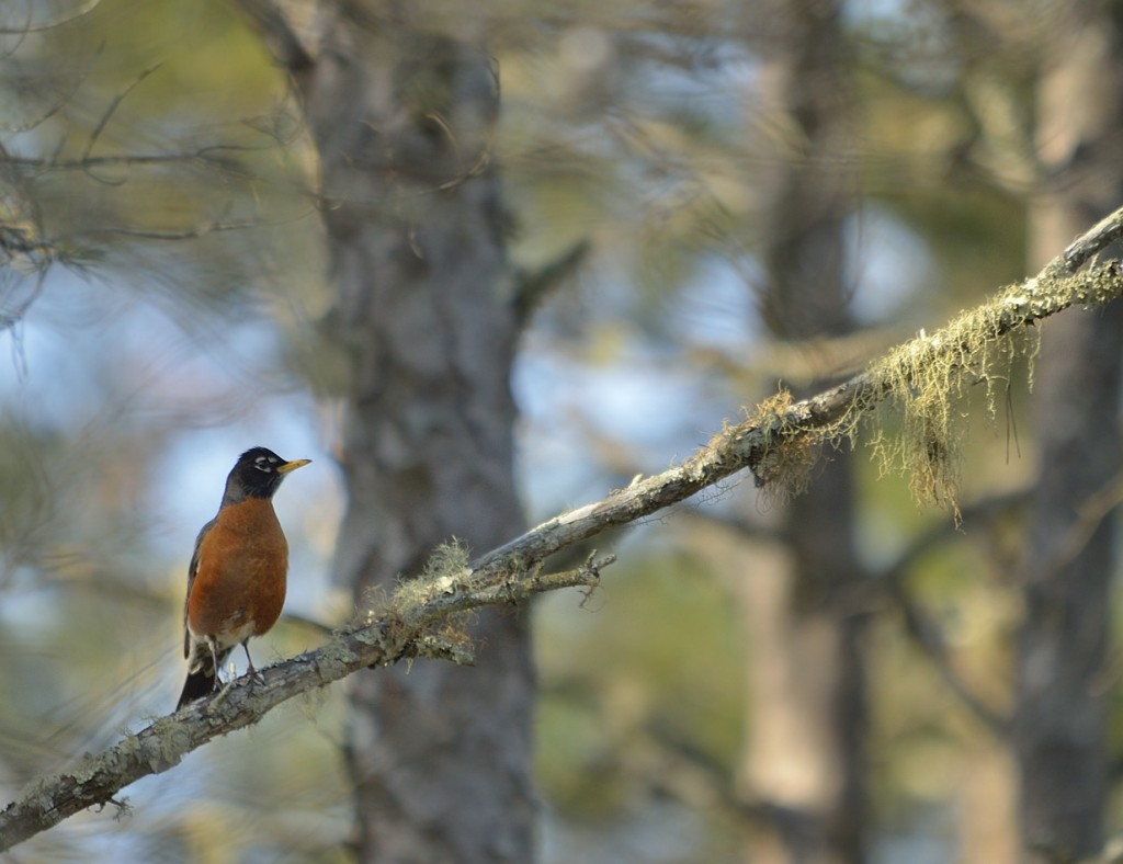 A woodland phase robin in the scrub of Ocala National Forest.