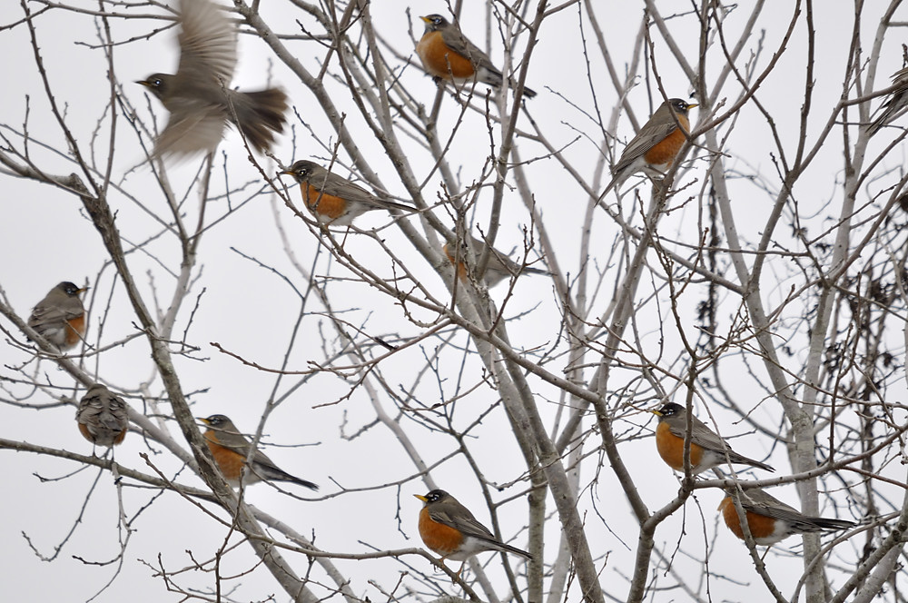 A small winter flock of robins.
