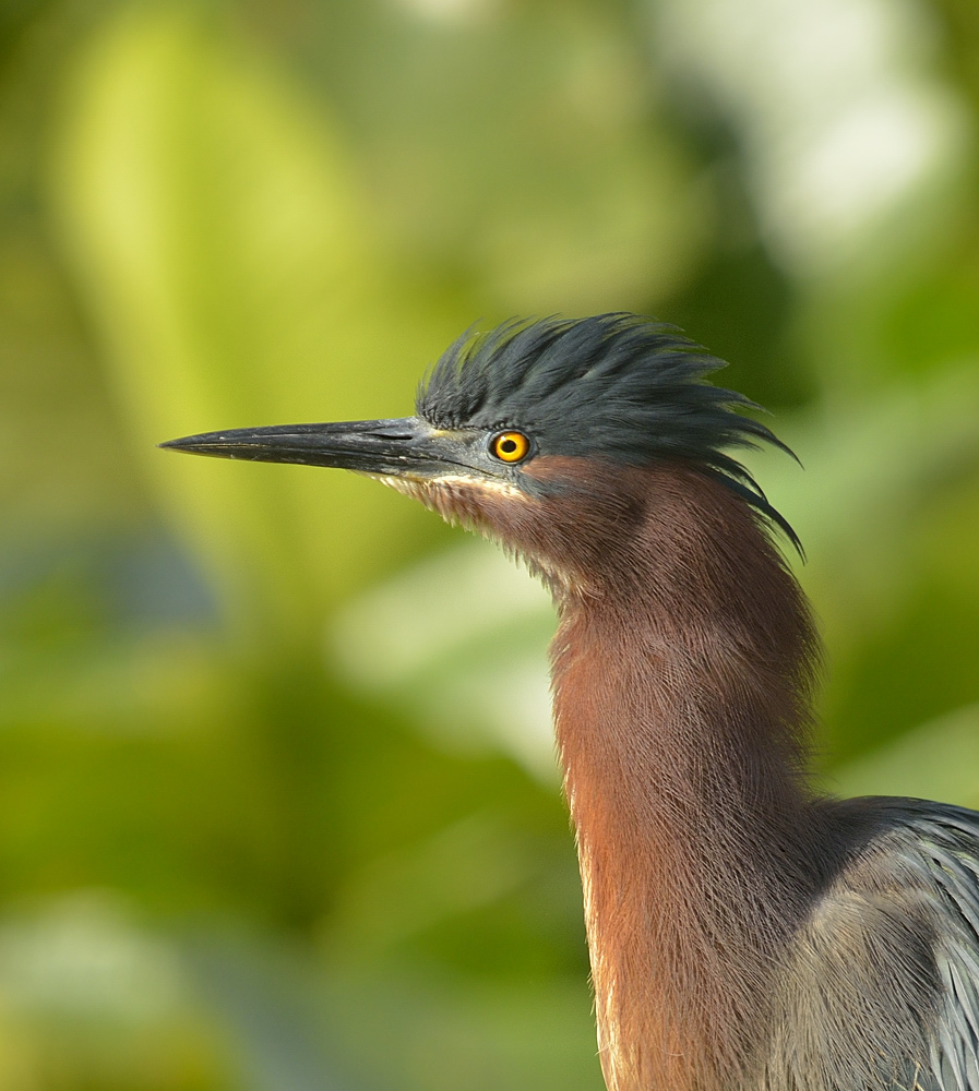 Mildly perturbed green heron.