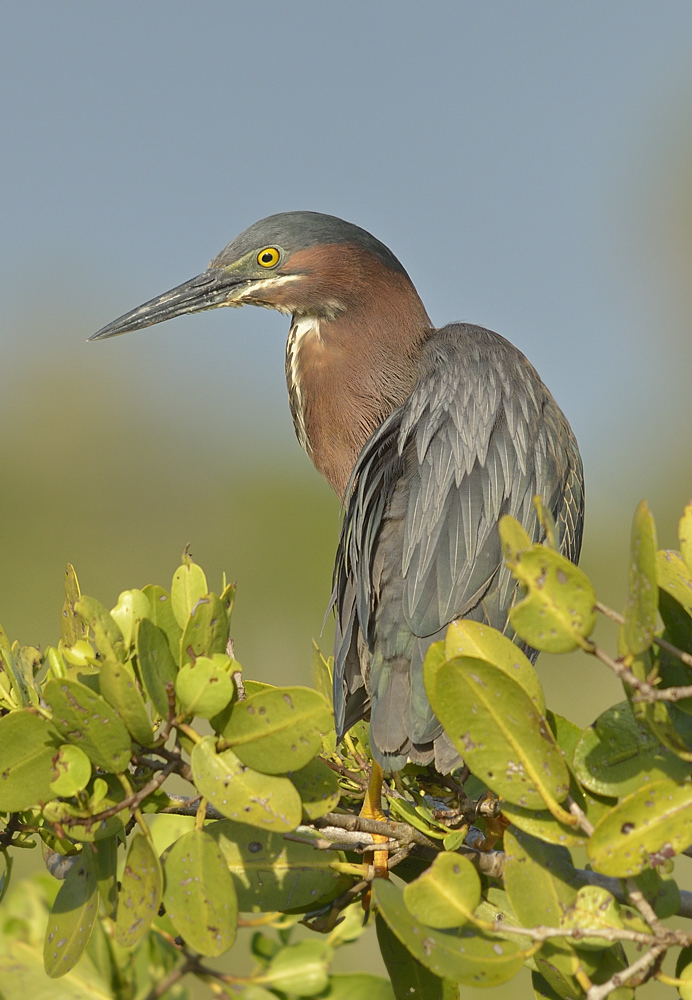 Chill green heron.