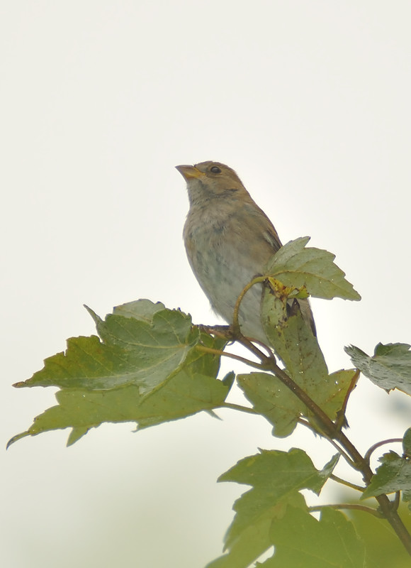 Female indigo bunting, photographed in Lake County.