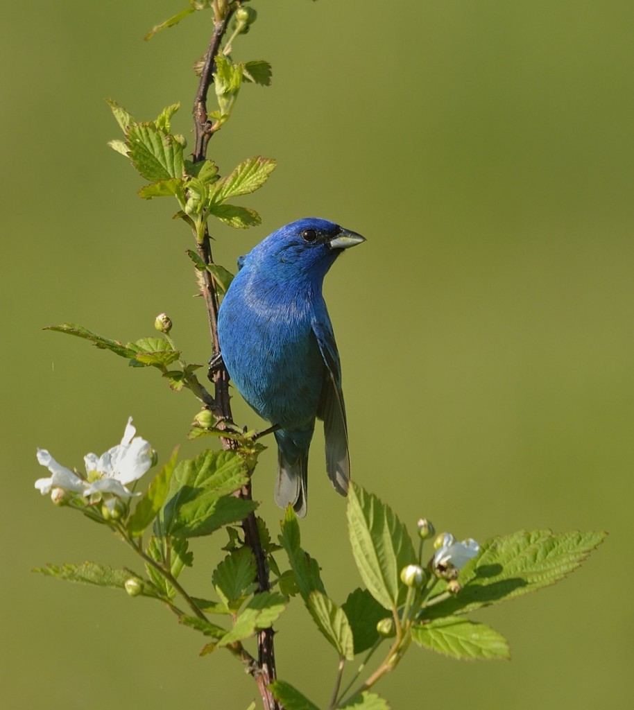 Male indigo bunting in alternate plumage. Photographed at Occoquan Bay NWR in Woodbridge, Va.