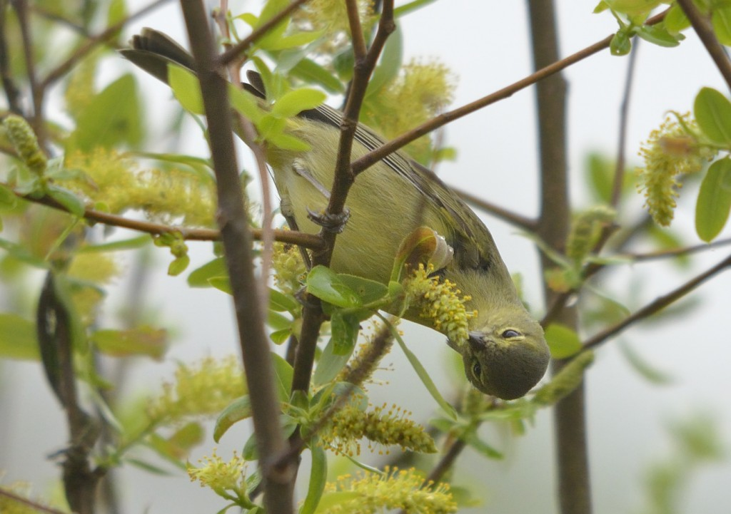 Feeding on nectar/pollen of willow.