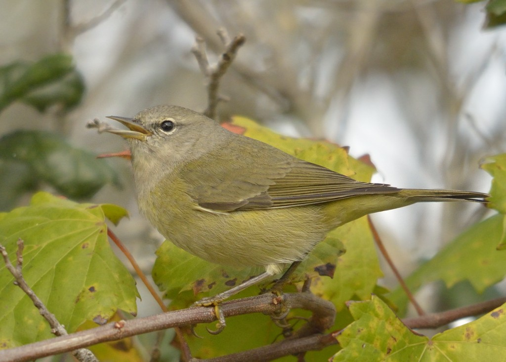 One of the more nondescript of Florida's winter warblers, if it doesn't show any prominent field marks like wing bars or head pattern, it could be an orange-crowned warbler.