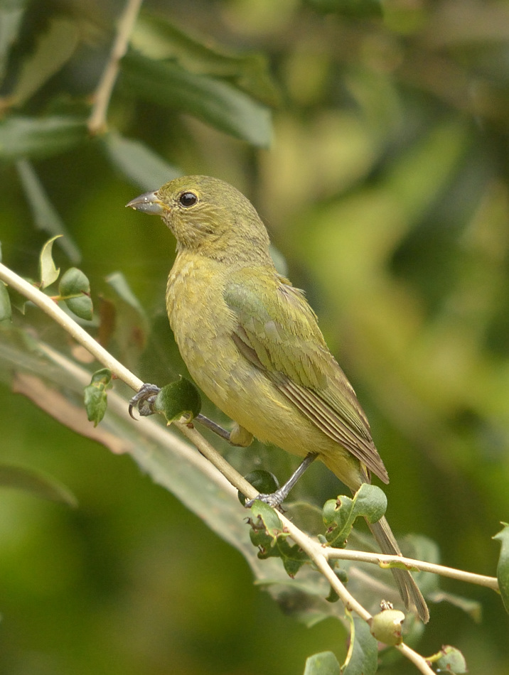 A greenie; a female or immature male painted bunting.