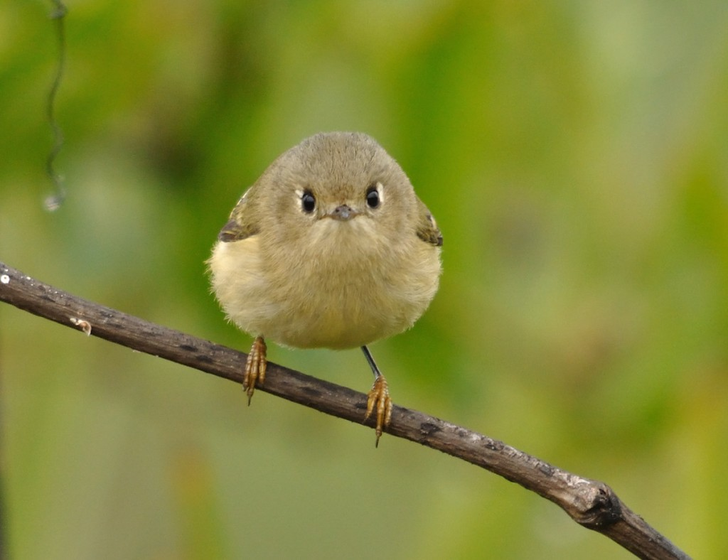 Ruby-crowned kinglet, showing no sign of a ruby crown.