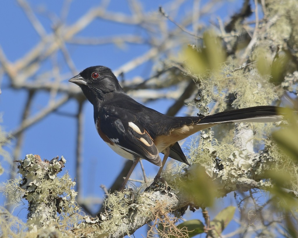Wintering eastern towhee.  Our breeding towhees have white eyes.  Towhees are abundant in the oaky scrub of Juniper Prairie
