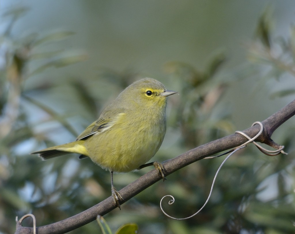 Orange-crowned warbler.  I found these birds several times in different mixed species flocks.