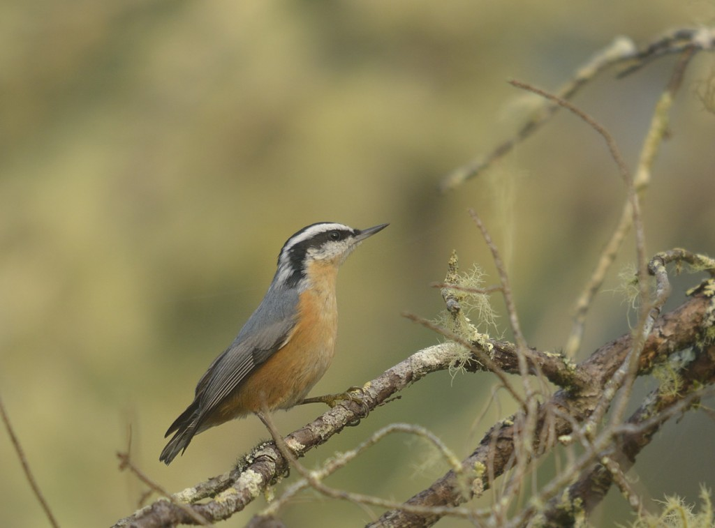 Red-breasted nuthatch from FR46 in November, 2012.