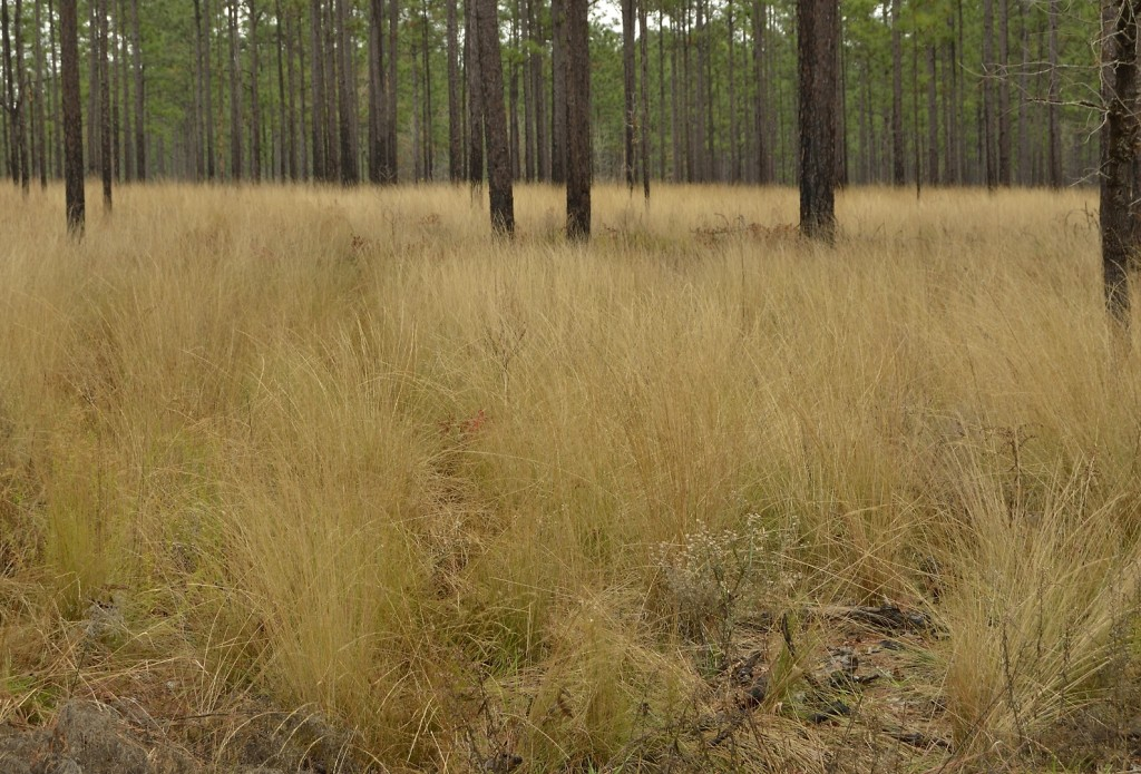 Mature sandhills with wiregrass