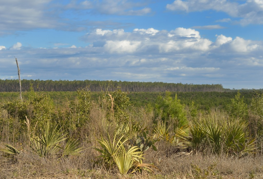 Regenerating early regeneration scrub, with mature sand pine scrub in the distance