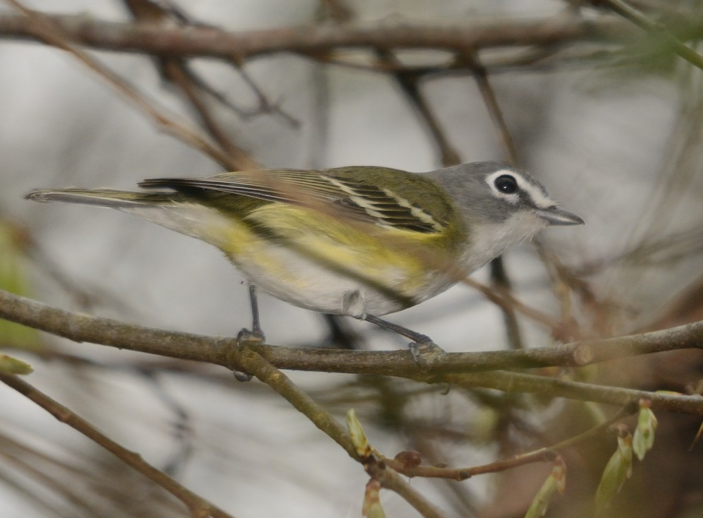 This blue-headed vireo was in a small mixed-species flock working the hammock at the entrance to the wildlife drive.