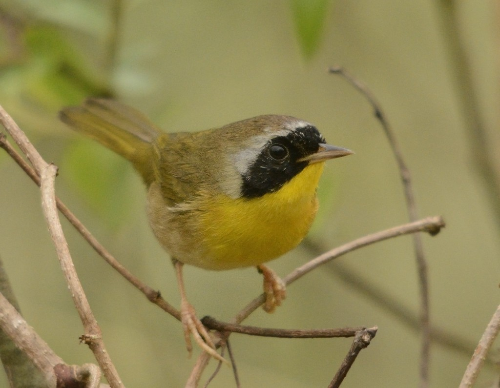 Common yellowthroats were beginning to sing a bit.