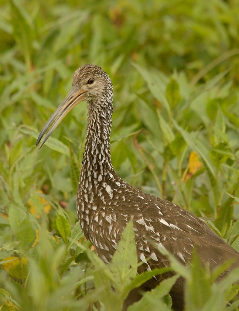 This limpkin was the best wading bird of the morning.
