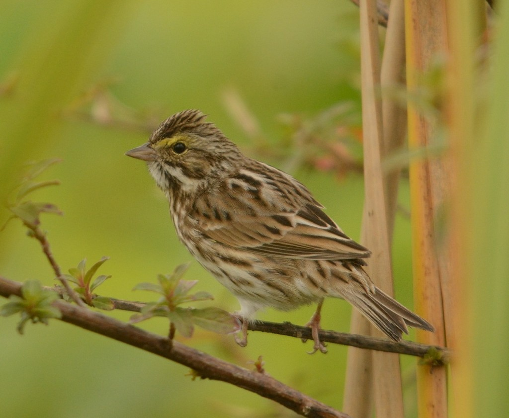 Savannah sparrows are always abundant along the roadsides until they migrate north