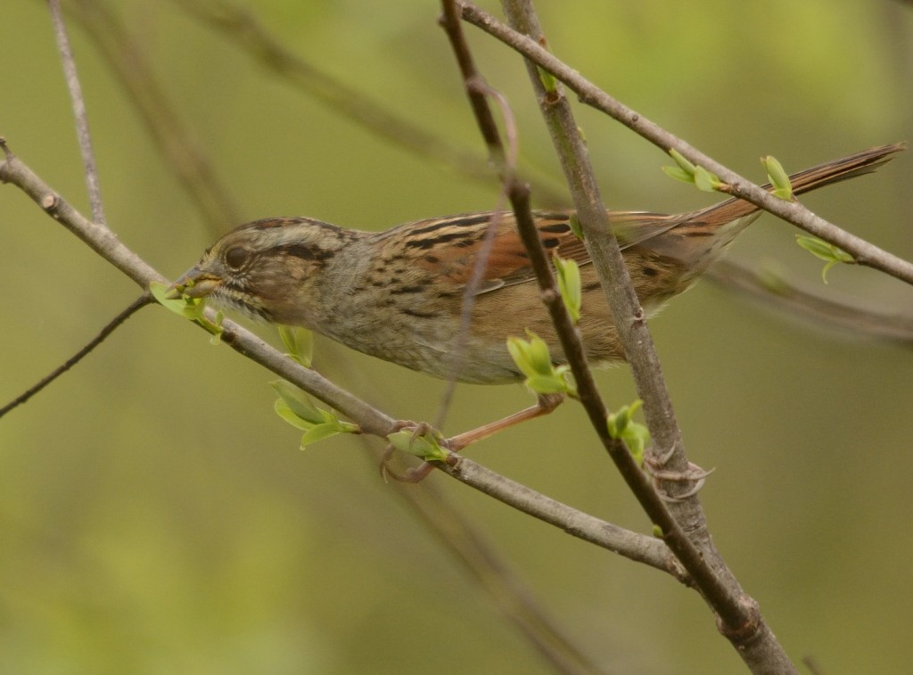 Swamp sparrow eating willow buds.