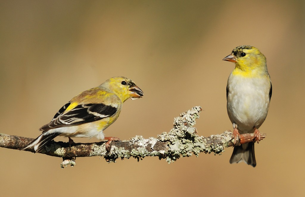 Two male American goldfinches molting into breeding (alternate) plumage