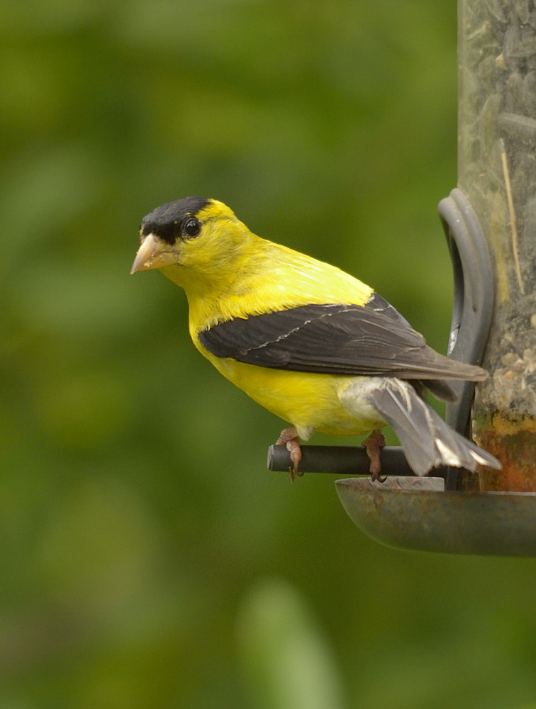 Although American goldfinches don't typically breed in central Florida, this alternate-plumage male appeared at my feeders, along with a female, in August of 2012, when goldfinches are usually still nesting.  Interesting color variation in this male as well - he had no white feathers in the wings.