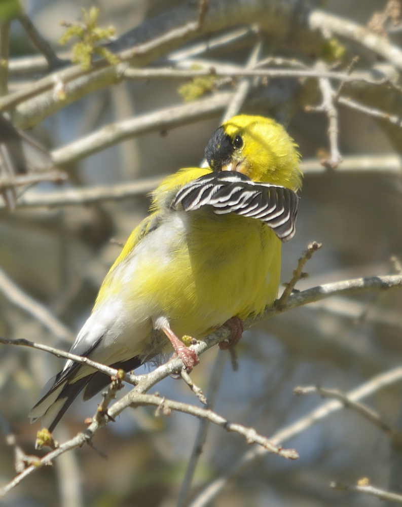 Keeping that plumage in peak condition requires a lot of maintenance.  When the goldfinches aren't devouring the seed in my feeders, they are usually roosting in a nearby oak, preening and loafing.