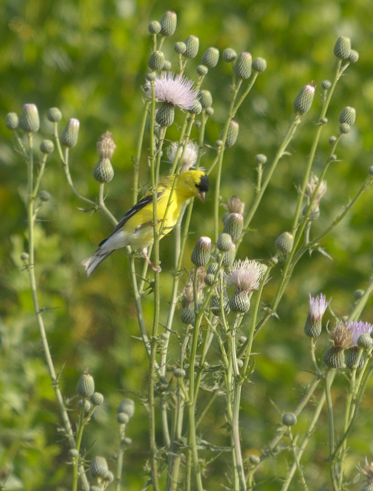 Male American goldfinch feeding at heads of Cirsium nuttalii, a native thistle that blooms and sets seeds before the migrating goldfinches have departed.