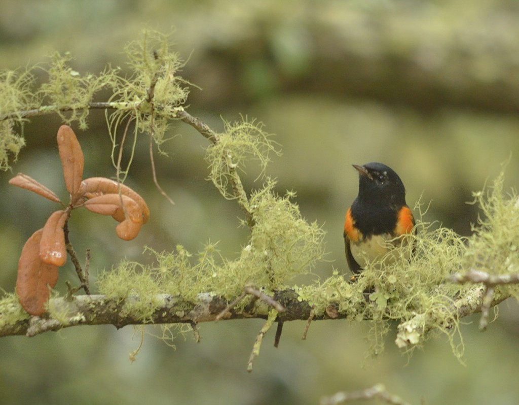 Male American redstarts that arrive first on breeding grounds are high-fitness individuals who get the best territories.