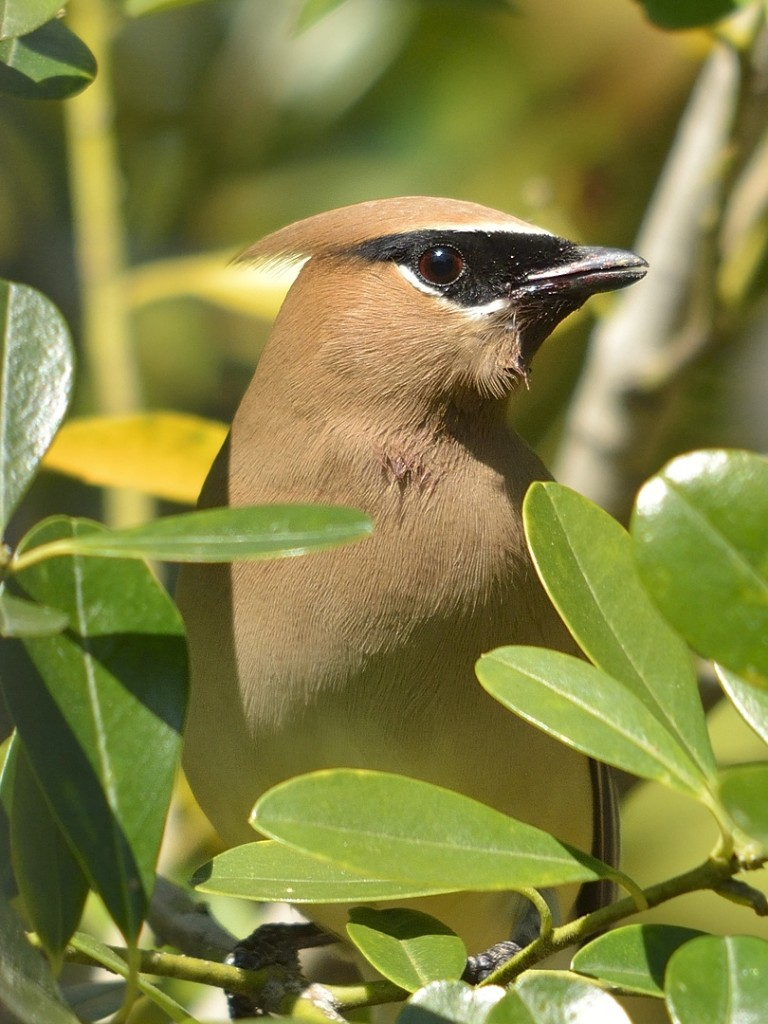 This waxwing was sticking to denser cover trying to avoid detection by the mockers.