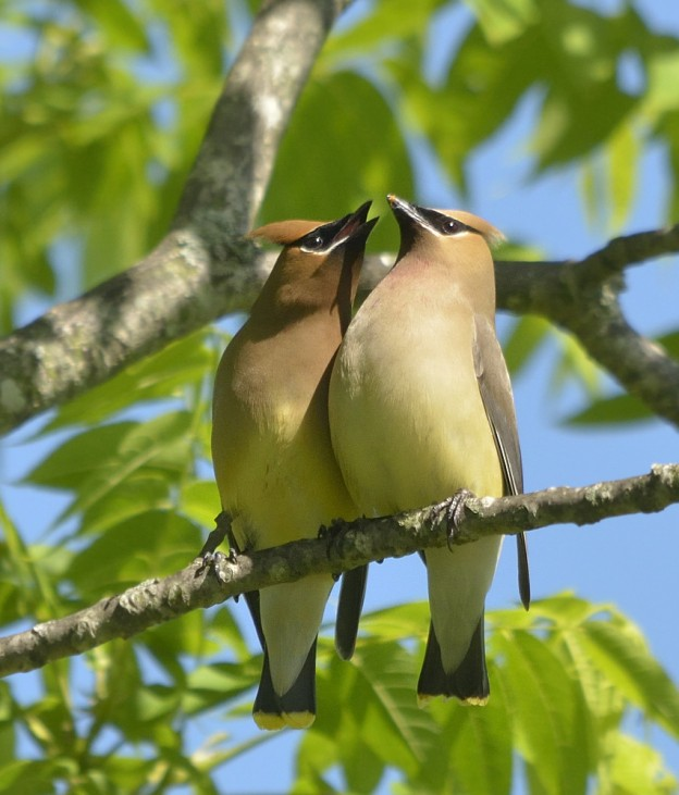 Canoodling waxwings.  From Northern Virginia.