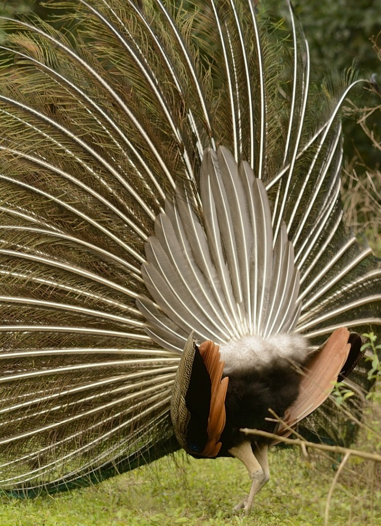 The true tail feathers (rectrices) can be seen here behind the plumes, which are really upper tail coverts.