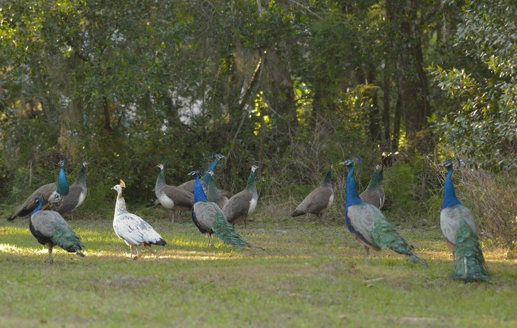 Part of the DeLeon Springs peacock flock
