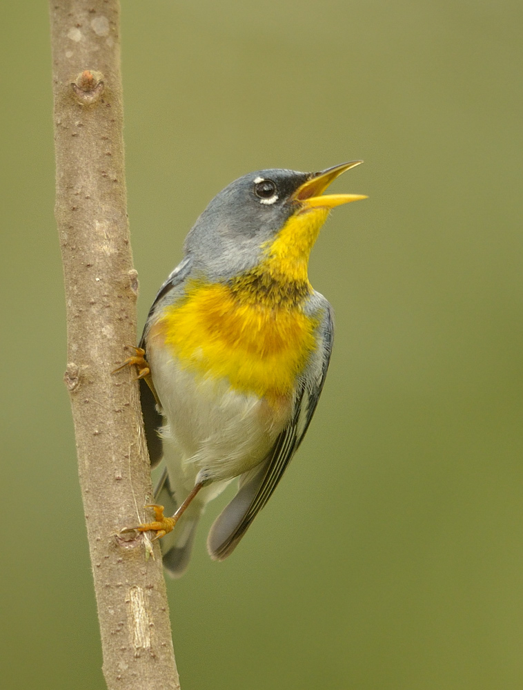 Despite the weather, singing northern parulas were one more bit of evidence that Spring is actually here.