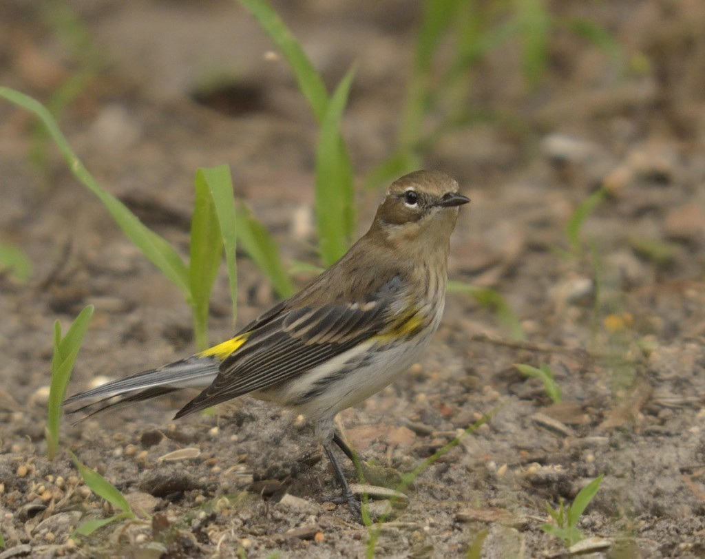 Yellow-rumped warblers are mainly foliage-gleaners, but will also feed on the ground, engage in flycatching, and feed on fruits and seeds at times