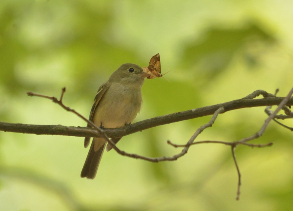 Other forest tyrannids, like this Acadian flycatcher, are scarce as breeders.
