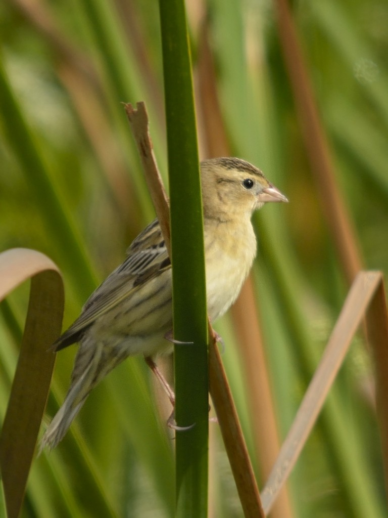 Female bobolinks are more subtle than males, but equally beautiful.