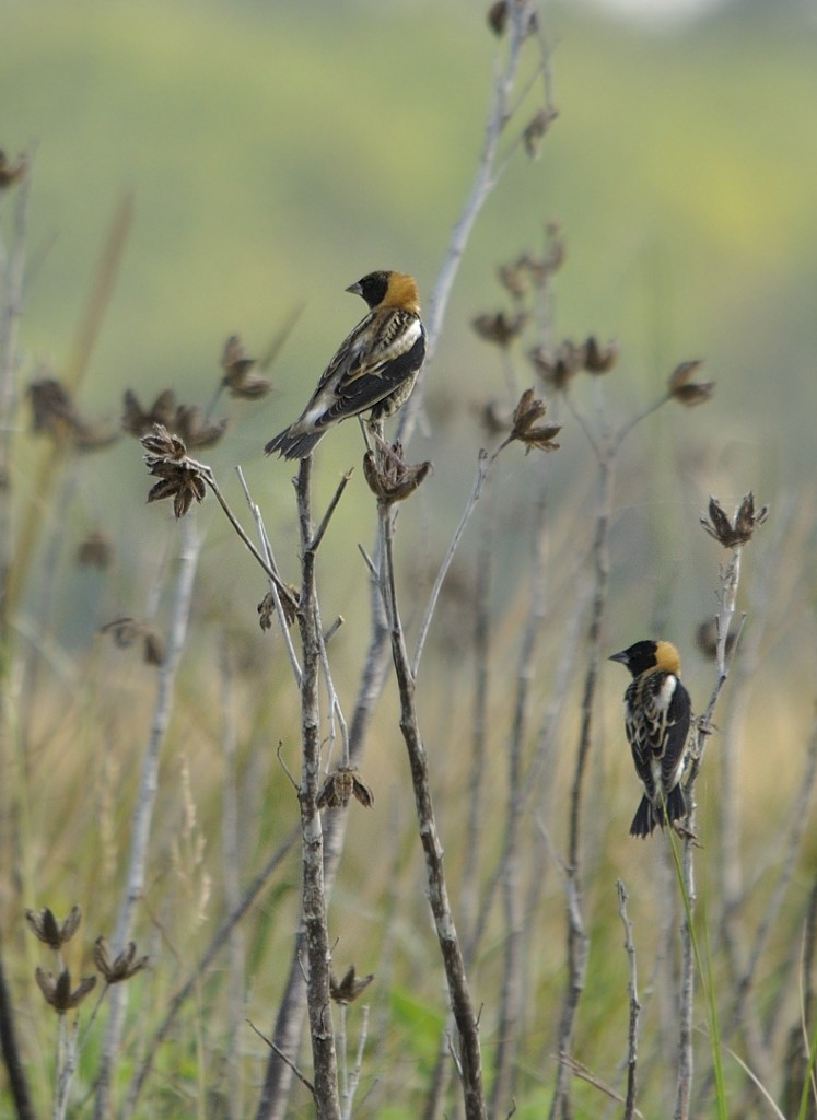 Bobolink males at Lake Woodruff NWR