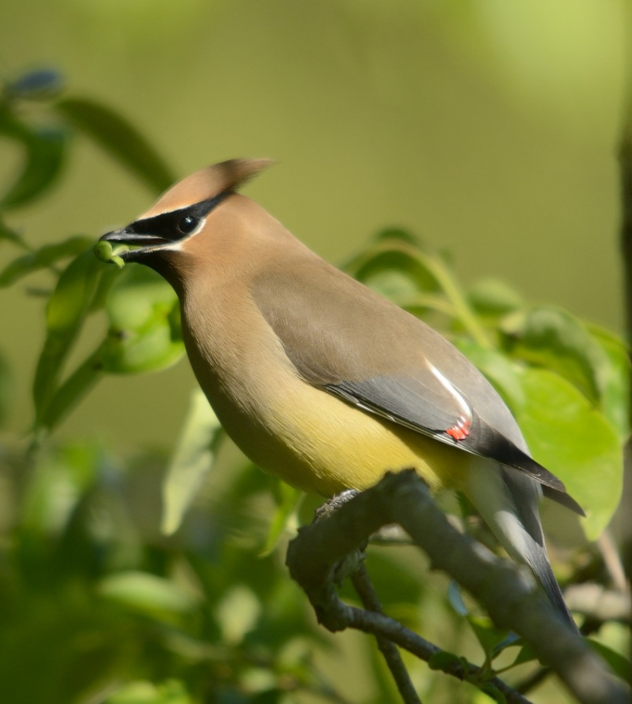 The male waxwing with his gift.