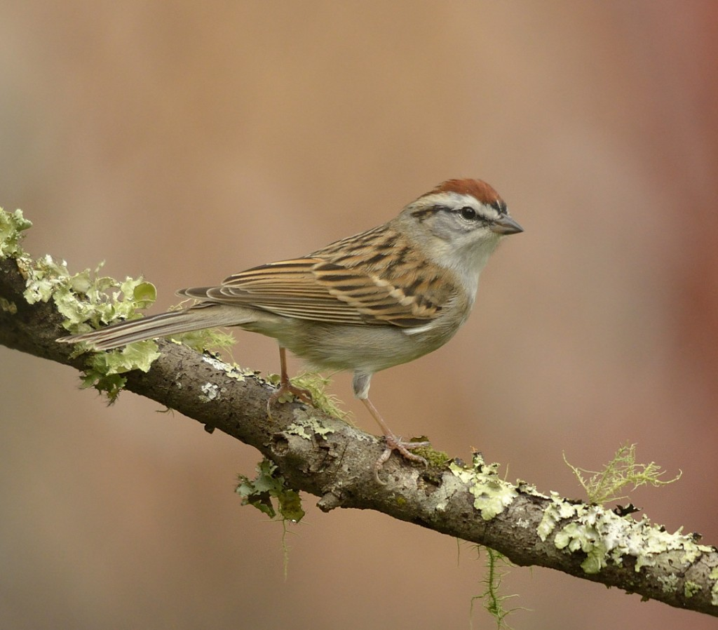 Why don't chipping sparrows breed in Florida?