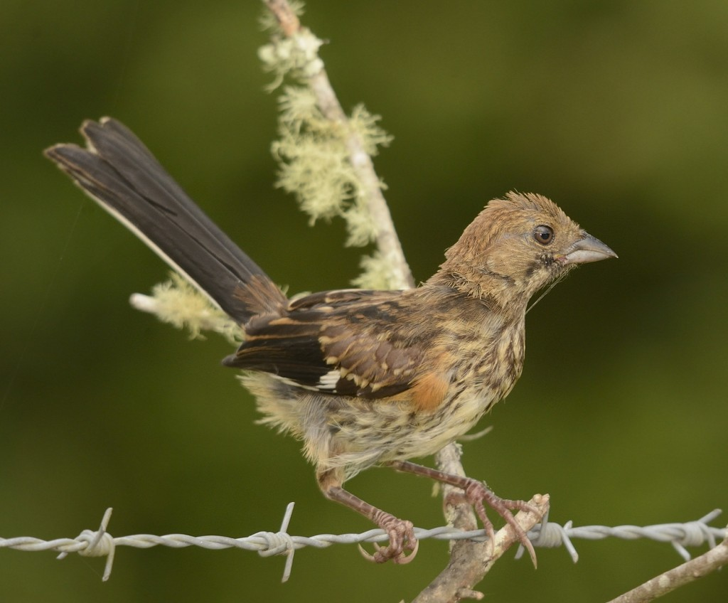 The juvenal plumage of eastern towhees clearly shows their affinity to sparrows.