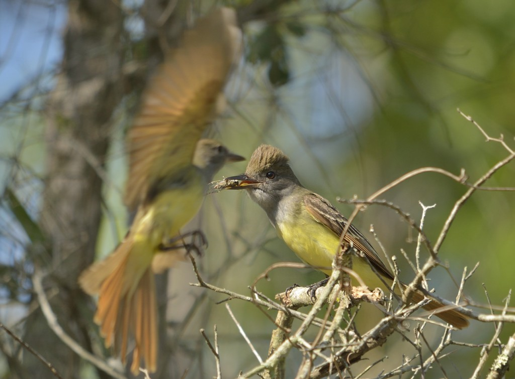 Great crested flycatchers are common breeding birds in Florida, despite any competition from odonates.