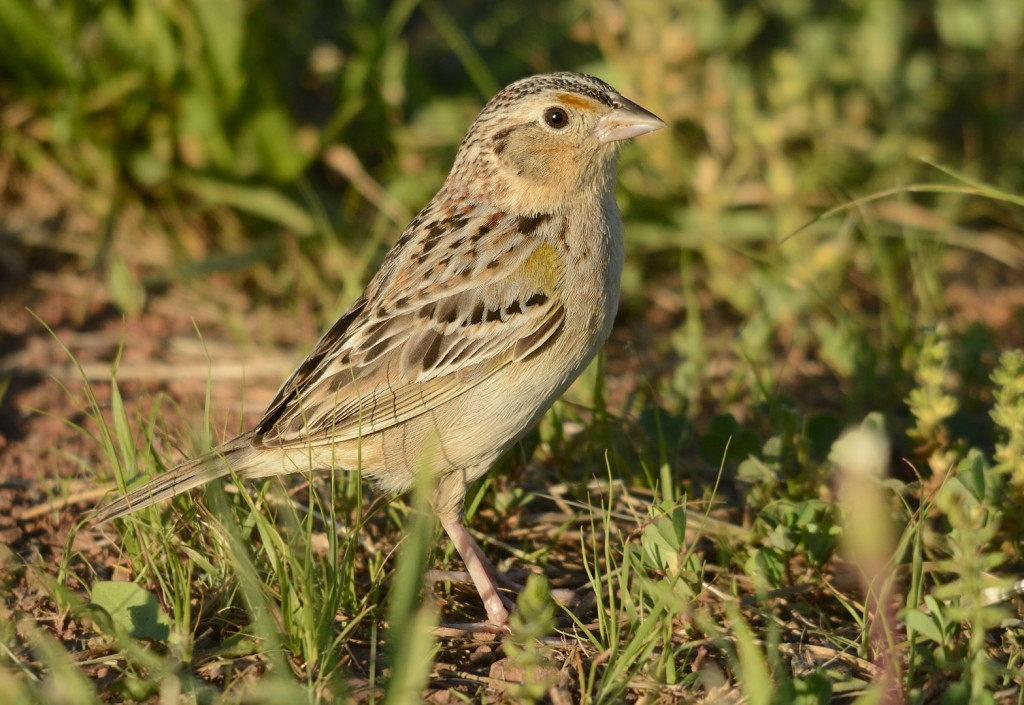 Grasshopper sparrows are characteristic breeders of very early successional habitats