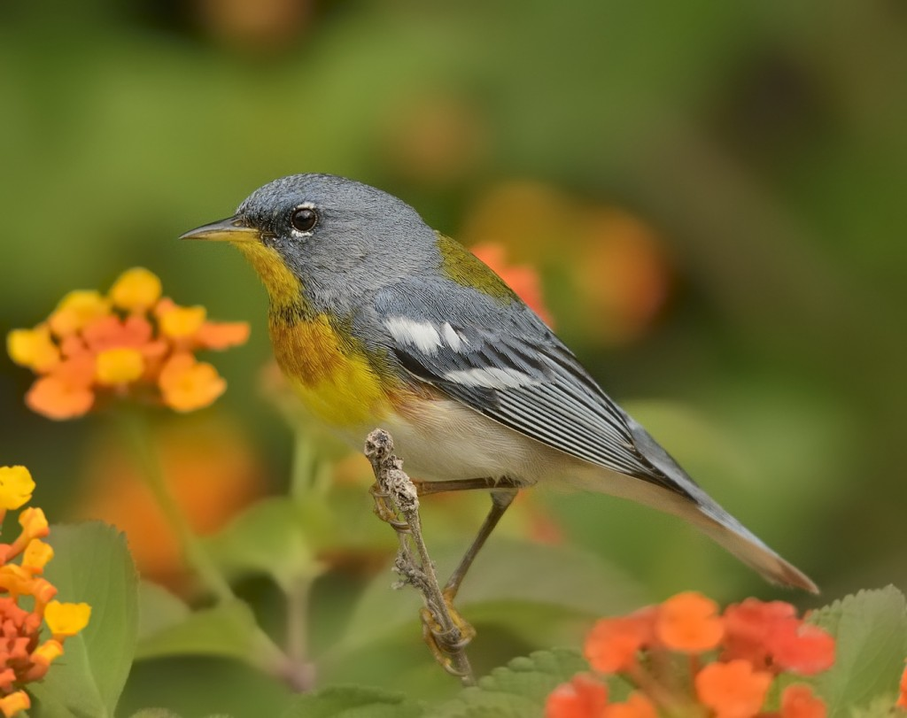 Northern parulas are abundant foliage-gleaners of hammock habitats, but other warblers and foliage-gleaners typical of forest habitats further north are absent.