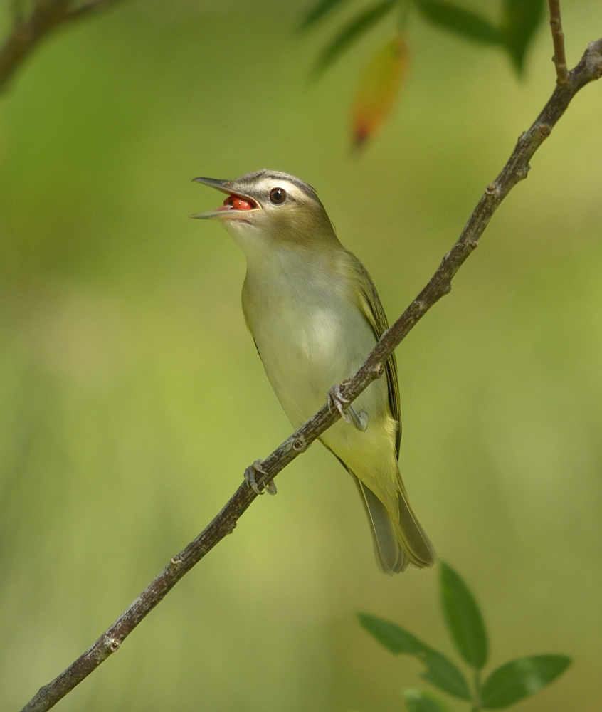 Red-eyed vireos are far more abundant in migration than as breeders in peninsular Florida