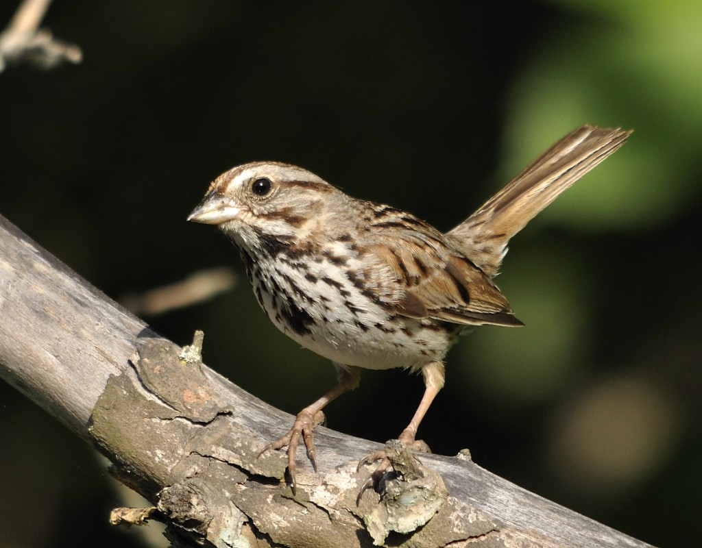 Song sparrow, a common winter resident that doesn't breed in Florida