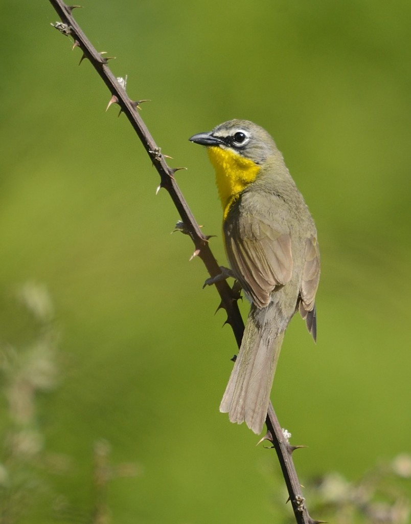 Yellow-breasted chat IN THE OPEN!!