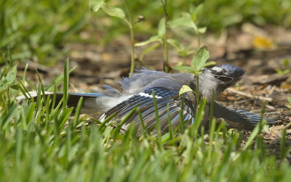 Blue jays get into sunning in a big way.