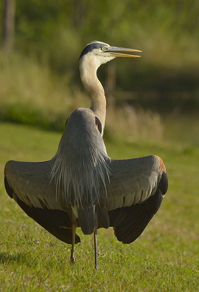 The delta-wing or droop-wing sunning posture in a great blue heron