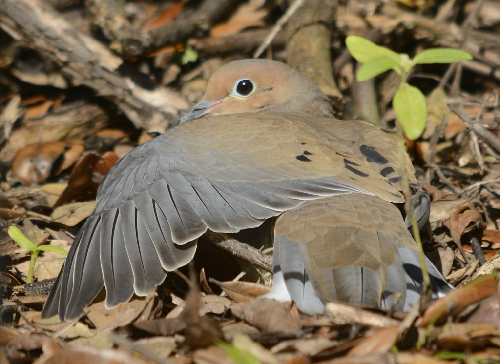 Mourning dove peek-a-boo sunning posture