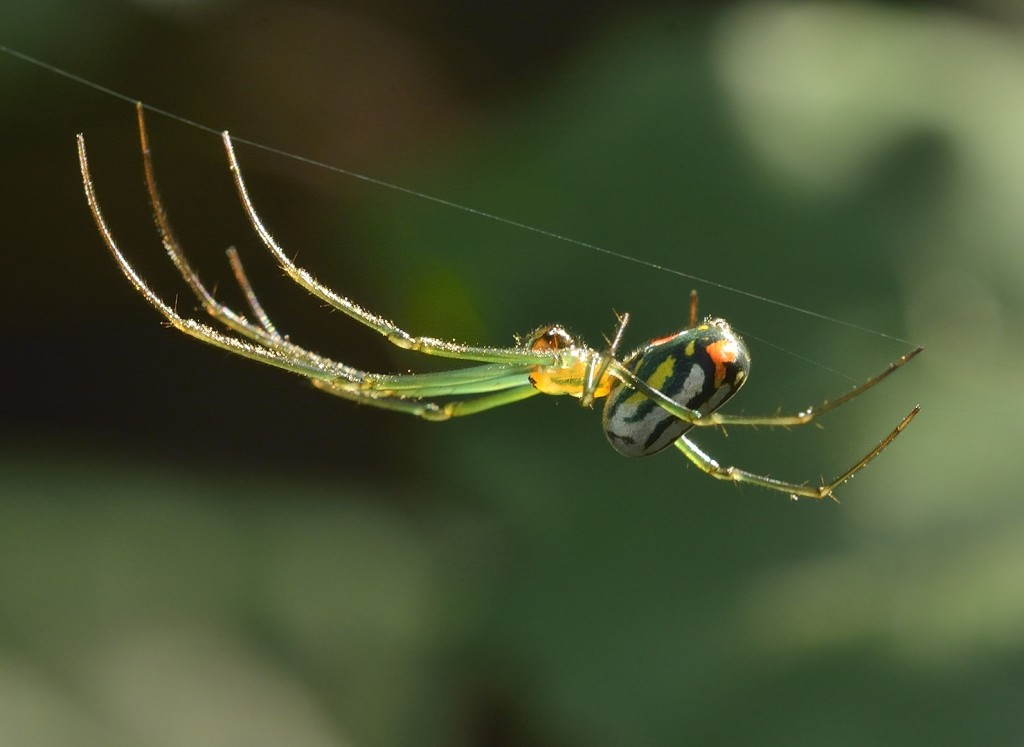 Leucage venusta, a common orb-weaver (Family Araneidae) in Florida.  Sceliphron wasps prey on a number of orb-weavers.