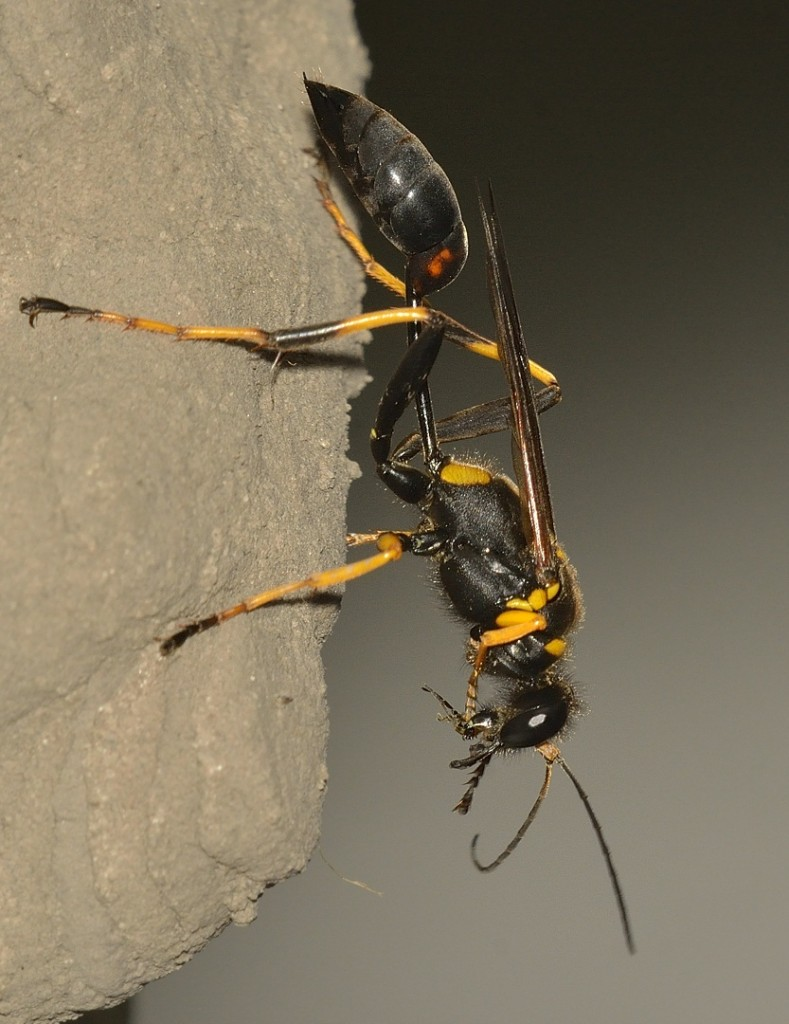 Sceliphron caementarium, the black-and-yellow mud dauber.