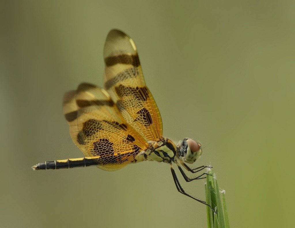 Halloween pennant, Cellithemis eponina.  An absolutely gorgeous insect.