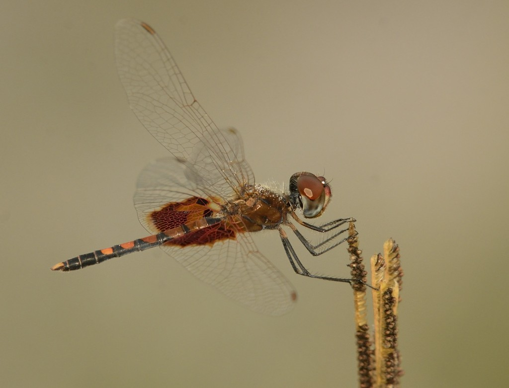 The pursuit of odes provides me a whole new treasure trove of lifer organisms to see and photograph, like this Amanda's pennant (Cellithemis amanda) I saw for the first time a week ago